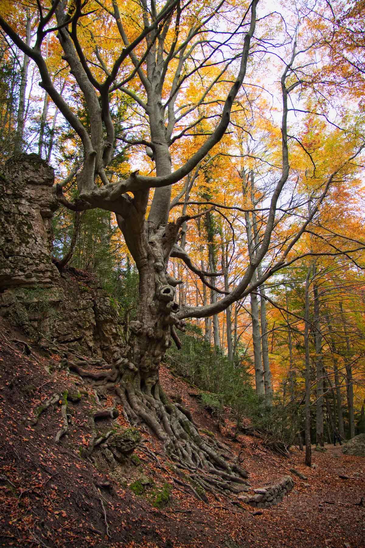 El faig Pare és un arbre monumental de la fageda del Retaule